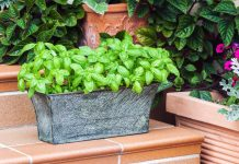 potted fresh basil